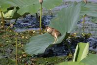 ヨシゴイその6(給餌成長し親と変わらぬ大きさに) - 私の鳥撮り散歩