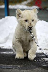 2018.2.18 東北サファリパーク☆ホワイトライオンのひふみたん岩手出張<その6【完】>【White lion baby】 - 青空に浮かぶ月を眺めながら