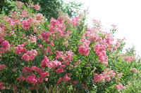 盛夏の百日紅と向日葵 - 木洩れ日 青葉 photo散歩