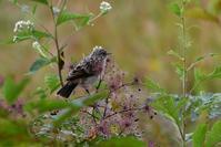 ノビタキ幼鳥・・・餌は自分で獲れるほどに - 赤いガーベラつれづれの記
