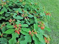 サマーポンセチア - だんご虫の花