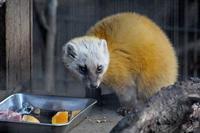 井の頭自然文化園~ハッスル・ホンドテンと改善されたホンドギツネの放飼場 - 続々・動物園ありマス。