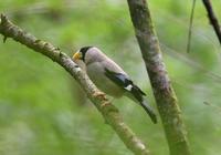 イカル - 可愛い野鳥たち 2