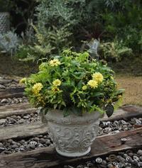 黄色いジニアを秋っぽく植えてみました。 - ヒバリのつぶやき