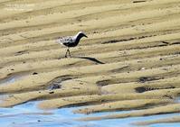 ダイゼンは河口、沿岸湖沼の干潟などに生息、内陸に入ることは少ない - THE LIFE OF BIRDS ー 野鳥つれづれ記
