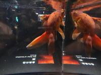 金魚 - 写真と俳句