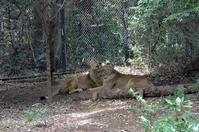 インドライオンの舌 - 動物園へ行こう