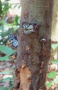 #チョウ目 『小楢の樹液と昆虫』 - 自然感察 *nature feeling*