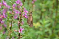 ■吸蜜するセセリチョウ18.9.1 - 舞岡公園の自然2