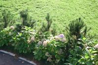 9月1日の紫陽花とススキ - 照片画廊