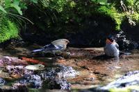 ウソのヒナ親をお手本に水浴びの練習中 - 野鳥公園