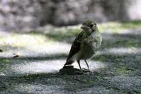 キビタキ親子② - ベジタブルpartⅤ(鳥と共に日々是好日)