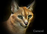カラカル:Caracal - 動物園の住人たち写真展(はなけもの写眞店)
