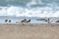 キアシシギ - ひとり野鳥の会