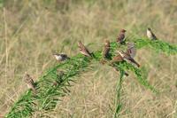 ニュウナイスズメ - ひとり野鳥の会