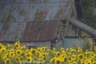 雨の日ひまわり - ekkoの --- four seasons --- 北海道