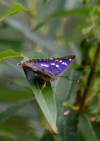 クロコムラサキ9月2日 - 超蝶