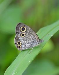 ウラナミジャノメ9月2日 - 超蝶