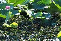 ヨシゴイ・・・幼鳥 - 赤いガーベラつれづれの記
