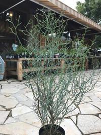 植物紹介(^-^) - ブレスガーデン Breath Garden 大阪・泉南のお花屋さんです。バルーンもはじめました。