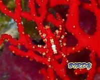 イソバナガニ - 三宅島バーディLOGのページ