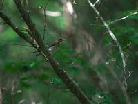 仕事続きで・・・クロツグミ。 - 鳥見んGOO!(とりみんぐー!)野鳥との出逢い
