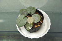 "Homalomena sp. '月輪' ""Sumatera Utara"" - PlantsCade -2nd effort"