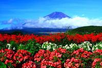 30年8月の富士(36)山中湖畔の夏の花と富士 - 富士への散歩道 ~撮影記~