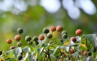 秋を感じてヤマボウシの実 - 旅のかほり
