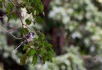 夏の終わりにコゲラシジュウカラ - 旅のかほり