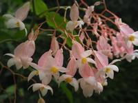 淡いピンクの花がかわいい木立ベゴニア - 神戸布引ハーブ園 ハーブガイド ハーブ花ごよみ