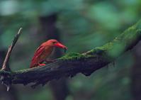 遠征アカショウビン9 - 今日も鳥撮り