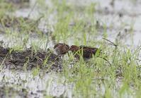 田園地帯の休耕田巡り - 私の鳥撮り散歩