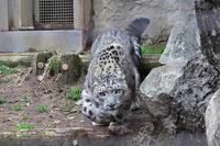 ユキヒョウ親子「ミミ&フク」~フクのボール遊び - 続々・動物園ありマス。