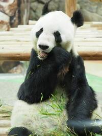パンダの赤ちゃん、順調に成長中! - 風に流され、気まま気まぐれ