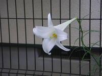 タカサゴユリが咲きました 9/3 - つくしんぼ日記 ~徒然編~