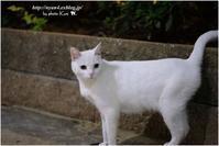 美しい白猫 - 4にゃん日記+