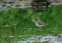 昨日の平塚の田んぼ、帰ろうとして車に向かうと水場にタカブシギ・・目が入らなかったので再度撮ろうとカメラを持って向かうと草むらに動くものを発見! - 鳥撮り日誌