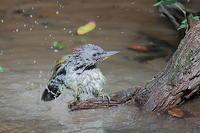 豪快な水浴び…アオゲラ - 上州自然散策2