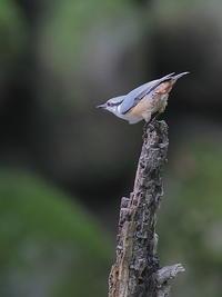 ゴジュウカラ - 上州自然散策2