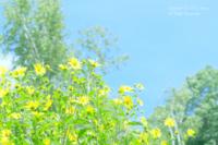 黄色いお花 - カメラをもってふらふらと