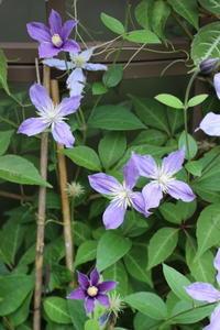 本物のド根性ガエル&台風前の花 - HOME SWEET HOME ペコリの庭 *