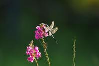 蜻蛉 - 生きる。撮る。