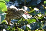ヨシゴイ・・・蓮の葉の上を歩いて餌取り - 赤いガーベラつれづれの記