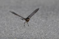 ツバメ・・・幼鳥の飛行訓練 - 赤いガーベラつれづれの記