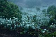 ホソバノヤマハハコの咲く花園  三峰山 - 峰さんの山あるき