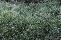 ■群生する花 3種18.9.4(シロバナサクラタデ、キンミズヒキ、ツルボ) - 舞岡公園の自然2