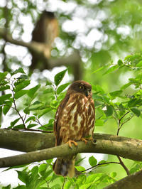"""アオバズク(青葉木菟)/Brown hawk-owl - 「生き物たちに乾杯」 第3巻 """"A Toast to Wildlife!"""" vol. 3"""