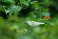 虫のこころツマグロヒョウモン(褄黒豹紋蝶)他 - 身近な自然を撮る