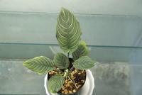 Schismatoglottis chevron - PlantsCade -2nd effort